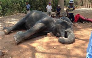 Voi chở khách du lịch bị chết trong cái nắng thiêu đốt ở Angkor